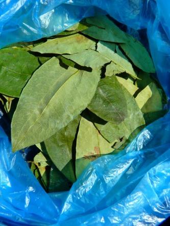 coca-leaves-43288_960_720.jpg