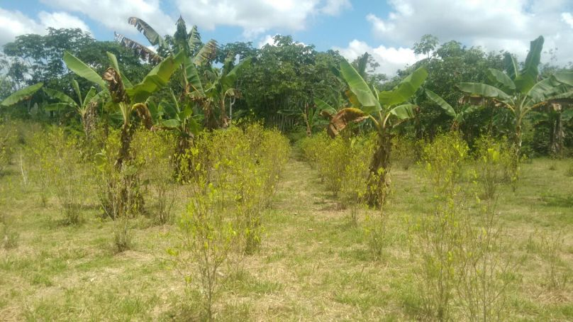 Cultivos de coca.jpg